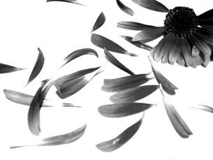 花モノクロの素材 [FYI00120734]