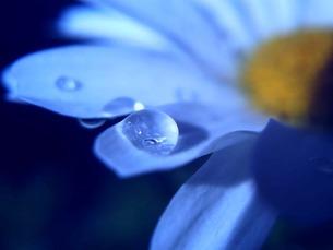 花弁と水滴の素材 [FYI00120735]