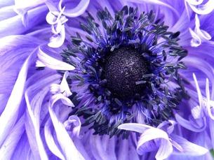 紫の花の素材 [FYI00120762]