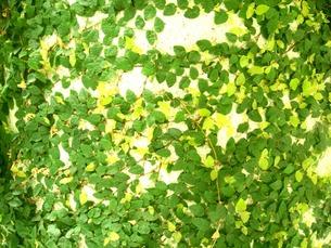 緑葉の写真素材 [FYI00120770]