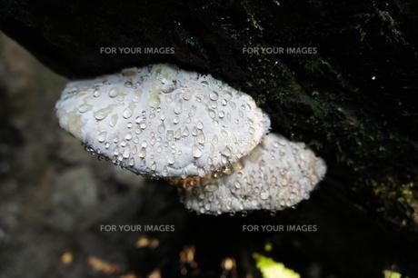 みずみずしい白キノコの写真素材 [FYI00120835]