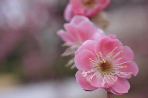 梅の写真素材 [FYI00120842]