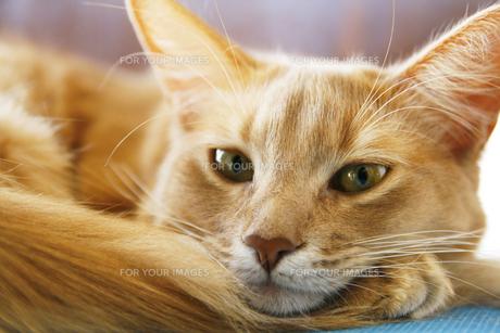 猫のソマリのフォーンの素材 [FYI00120930]