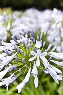 7月の花アガパンサスの写真素材 [FYI00120949]