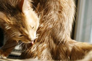 猫のソマリのフォーンの写真素材 [FYI00120981]