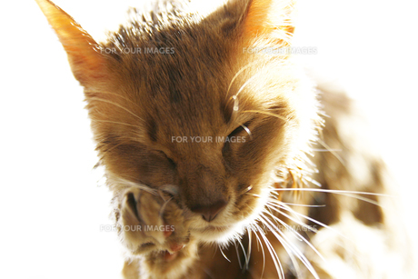 猫のソマリのフォーンの写真素材 [FYI00121003]