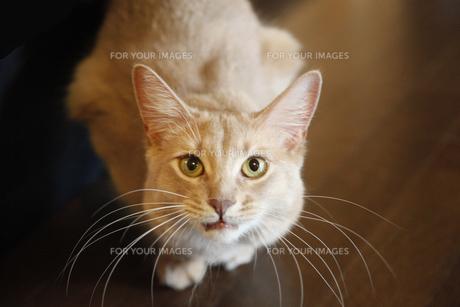 猫のソマリのフォーンの写真素材 [FYI00121009]