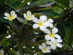 saipanのお花の写真素材 [FYI00121039]