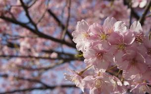 桜の写真素材 [FYI00121075]