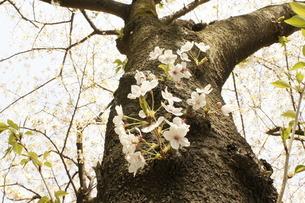 葉桜の写真素材 [FYI00121109]