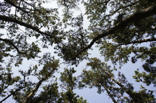 下からみた木の写真素材 [FYI00121119]