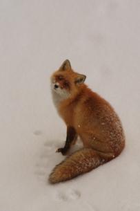 雪上のキタキツネの素材 [FYI00121141]