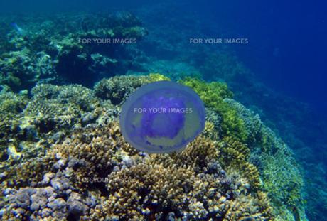 クラゲの写真素材 [FYI00121148]