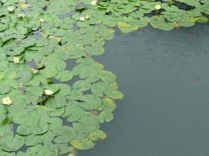 雨と蓮の写真素材 [FYI00121201]