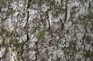 木肌の写真素材 [FYI00121256]