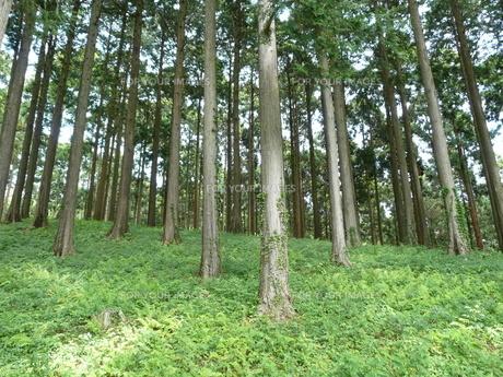 杉林の写真素材 [FYI00121366]