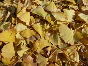 いちょうの落ち葉の写真素材 [FYI00121399]