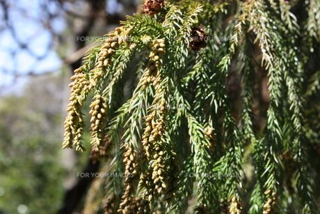 スギの花・スギ花粉の写真素材 [FYI00121596]