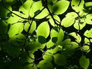 新緑の写真素材 [FYI00121607]