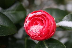 雪椿の写真素材 [FYI00121622]