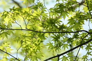 新緑の写真素材 [FYI00121636]