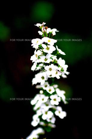 白くて小さな花の素材 [FYI00121811]