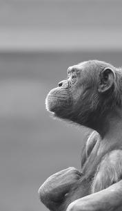 哲学するチンパンジーの素材 [FYI00121925]