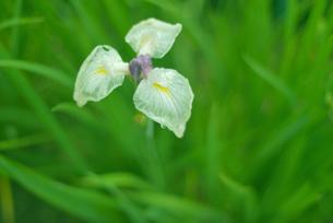 緑の草が背景の雨の日の菖蒲と水滴の写真素材 [FYI00122064]