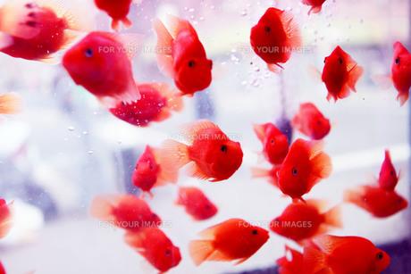 金魚の写真素材 [FYI00122158]