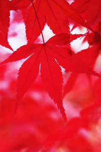 紅葉の写真素材 [FYI00122421]