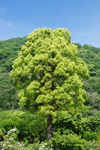 大木の写真素材 [FYI00122446]