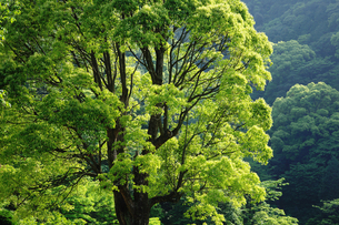 新緑の写真素材 [FYI00122465]