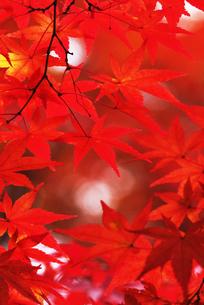 紅葉の写真素材 [FYI00122469]