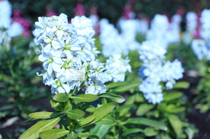 白と青の写真素材 [FYI00122540]