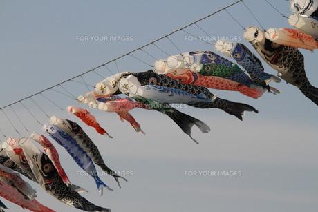 たくさんの鯉のぼりの写真素材 [FYI00122597]