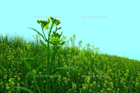 群生する菜の花の素材 [FYI00122634]