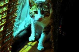 日本猫(キジ白MIX)の写真素材 [FYI00122644]
