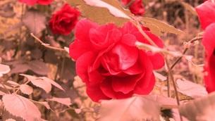 八重咲きのバラの写真素材 [FYI00122655]