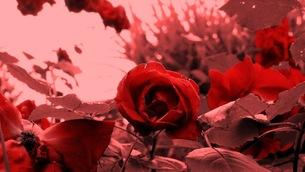 バラの園の写真素材 [FYI00122683]