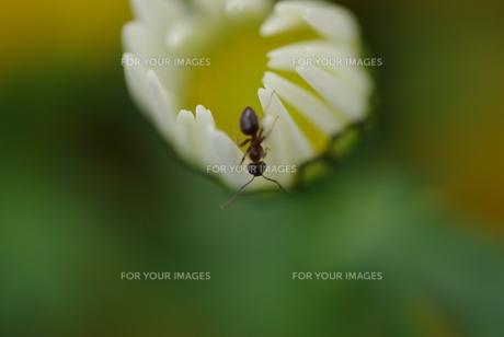 花とアリの写真素材 [FYI00122719]