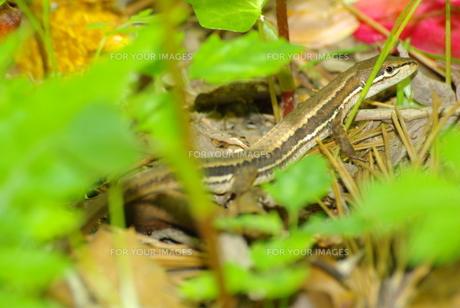 カナヘビの写真素材 [FYI00122785]