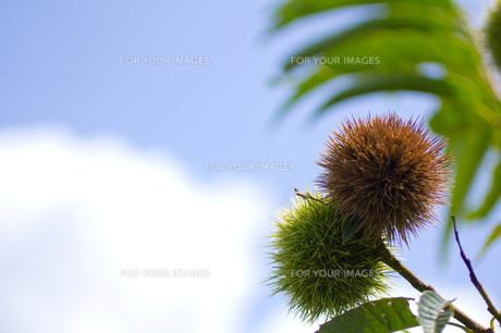 栗の実と青空の写真素材 [FYI00122830]