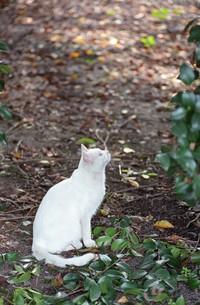 白猫の写真素材 [FYI00123058]