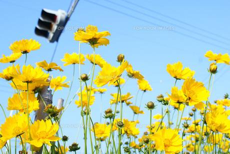 黄色いコスモスの素材 [FYI00123072]