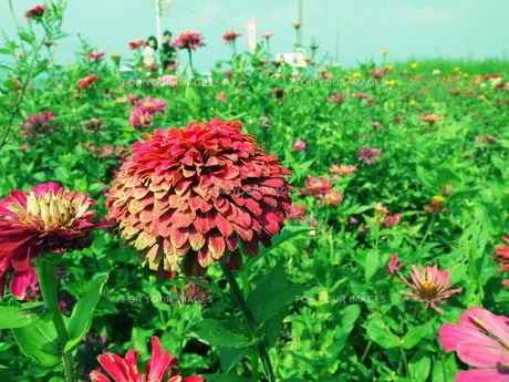 花の素材 [FYI00123161]