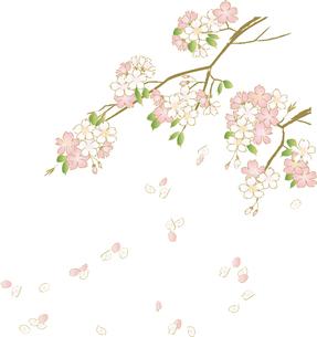 桜の写真素材 [FYI00123230]