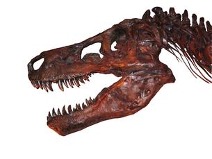 Tyrannosaurus's fossilの写真素材 [FYI00123707]