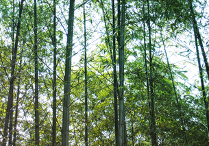 bambooの写真素材 [FYI00123709]