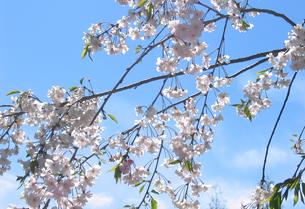 sakuraの写真素材 [FYI00123712]
