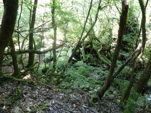 屋久島の森の中の写真素材 [FYI00123724]